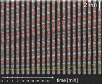 Kontrolle des Zellzyklus bei Bakterien aufgeklärt