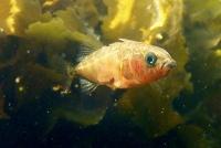 Ein kleiner Fisch gewährt Einblicke in die genetische Grundlage der Evolution