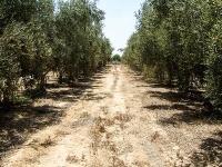 Umweltschädliches Abwasser: Landauer forschen in Israels Olivenhainen