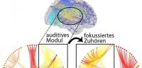 Wie Hirnregionen einander zuhören