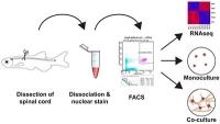 Vorstellung eines neuen Zellkultursystems für die Analyse von OPC-Zellen im Zebrafisch