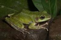 Weltweites Amphibiensterben: Erste großen Datenerhebung über Amphibienpilz in Asien abgeschlossen