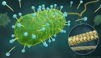 Struktur von Phagen-DNA-Tunnel in atomarer Auflösung aufgeklärt – methodischer Meilenstein gelungen