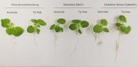 Wie kleine Moleküle Pflanzen bei ihrer Stressbewältigung helfen