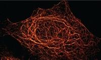 Einer für alle: Ein universeller Nanobody für die hochauflösende Mikroskopie