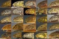 Acht neue Süßwasserfischarten in der Türkei entdeckt
