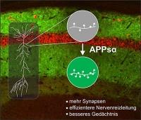 Spaltprodukt des Alzheimer-Schlüsselproteins APP stimuliert Nervenzellkommunikation