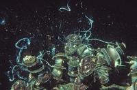 Wie sich bei Meeresschnecken genetische Inseln bilden