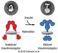 So funktioniert der Insulinrezeptor