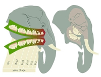 Zahnwechsel sorgt bei Elefanten für Jojo-Effekt