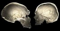 Neandertaler-Gene beeinflussen Gehirnentwicklung heute lebender Menschen