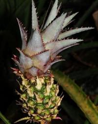 Die Ananas-Familie