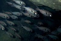Wie Lichtrezeptoren das Verhalten von Blitzlichtfischen steuern