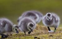 Umweltverschmutzung stresst arktische Tierwelt