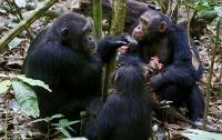 Schimpansen arbeiten bei der Jagd zusammen