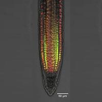 Neuer Wirkungsmechanismus des Pflanzenhormons Auxin nachgewiesen