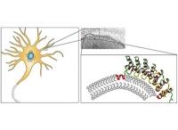 Wie Zellmembranen die Kurve kriegen