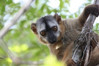 Partnerwahl bei Lemuren