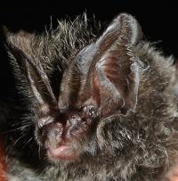 Wie Mopsfledermäuse Nachtfalter austricksen, die ihre Echoortungslaute hören können