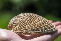 Wie zuverlässig sind Muscheln als Klimaarchive?