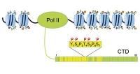 Wie ein Enzym die Abschrift unserer Gene reguliert