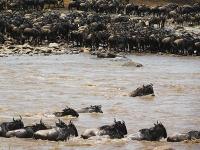 Forschung sieht große Tierwanderungen der Serengeti in Gefahr