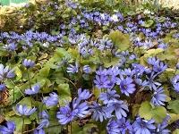 Die Farbe Blau in der Welt der Blüten: Internationale Studie ergründet ihre Seltenheit