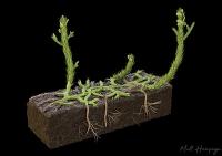 Wie sich die ersten Wurzeln vor mehr als 400 Millionen Jahren entwickelten