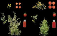 Biologen schaffen erstmals neue Kulturpflanze durch Genom-Editierung