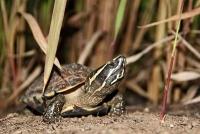 Neue Schneckenfresser-Schildkröte in Asien entdeckt
