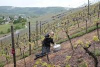 Besserer Wein durch Oregano und Thymian