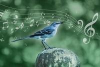 Gesang der Spottdrossel entschlüsselt