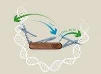 """""""Feinschliff"""" der Genschere CRISPR/Cas9"""