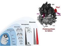 Proteinfabriken bei der Arbeit - Detaillierte Struktur von Ribosomen in Nervenzellen aufgeklärt