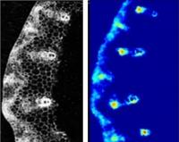 Neues bildgebendes Verfahren zur quantitativen Visualisierung von Saccharose in Pflanzen entwickelt