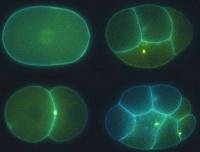 Zelluläre Müllabfuhr: Wie sich tierische Zellen vor gefährlichen Stoffen schützen