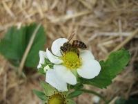 Bienenbestäubung verbessert Qualität und Haltbarkeit von Erdbeeren