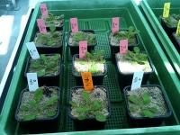 Epigenetische Veränderungen für die Pflanzenzucht nutzen