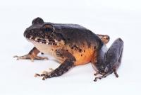 Ulmer Doktorand entdeckt für ausgestorben erklärte Froschart in Costa Rica