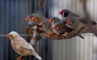Wie Zebrafinken ihren Balzgesang lernen