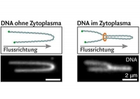 DNA-Schleifen – Organisatoren des Genoms
