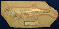 Flotte Flosse - Morphometrie bei den Pachycormidae