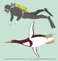 Uralter Vogel mit Übergrößen-Frack - Neuer fossiler Riesenpinguin in Neuseeland entdeckt