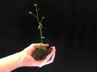 Wie Pflanzen Phosphat erkennen