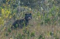 Gefährdete Brillenbären in Peru: Forschende finden Paddington Bär