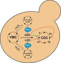 Zusammenhang zwischen Zellstoffwechsel und Zellteilung