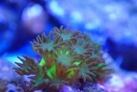 Korallen erfolgreich im Labor vermehrt