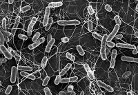 Resistenzen können sich auch ohne Antibiotika-Einsatz verbreiten