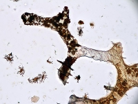 Zellreste können hunderte Millionen Jahre überdauern