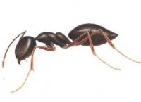 Weniger Zecken dank Ameisen